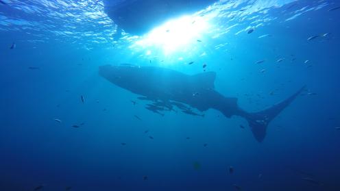 Whale shark, Derawan