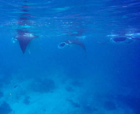 Manta rays in Derawan