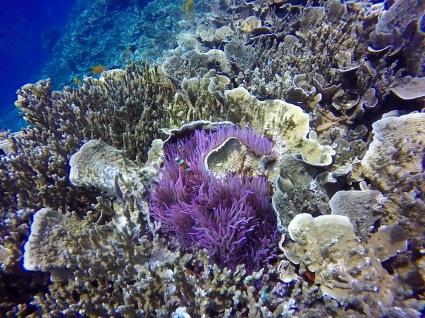 Lovely purple coral in Bunaken.