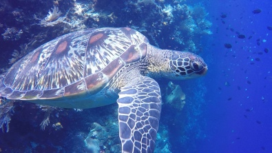 A sleepy turtle hides in to reef...ZZZZZ In Bunaken.