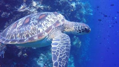 A sleepy turtle hides in to reef...ZZZZZ In Bunaken.