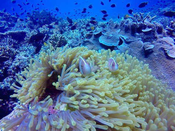 Many colorful and big corals with cute fishes in Bunaken.